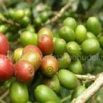 Натуральный зеленый кофе в зернах, как растет