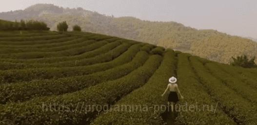 Рецепты травяных чаев в домашних условиях, плантация чая
