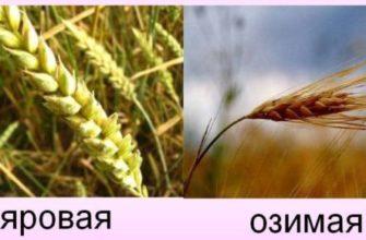 Список твёрдых и мягких сортов пшеницы: отличия, виды, характеристики