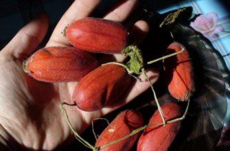 Тладианта - красный огурец: сроки и особенности посадки, уход